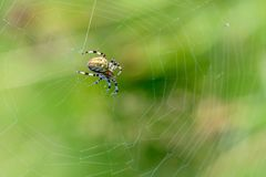Large female spider sits in the center of its spiderweb. A large female spider sits in the center of its spiderweb on a summer meadow Stock Photography