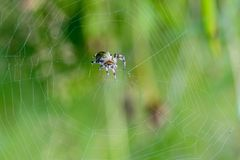 Large female spider sits in the center of its spiderweb. A large female spider sits in the center of its spiderweb on a summer meadow Royalty Free Stock Photography