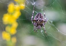 Large female spider sits in its web. A large female spider sits in its web against the background of yellow flowers Royalty Free Stock Photography