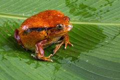 Tomato Frog. Large Female Tomato Frog On Palm Leaf At Peyrieras Private Reserve, Madagascar royalty free stock photography