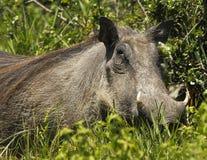 Large female warthog Stock Photo