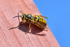 Large female wasp sits on a wooden board Royalty Free Stock Image