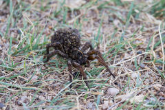 A large female wolf spider carries offspring on her back. Royalty Free Stock Image