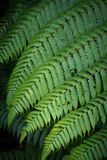 Large fern leaf. Portion of a large fern growing at the edge of tropical forest Royalty Free Stock Images