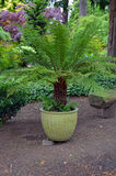 Large fern plant Royalty Free Stock Photography