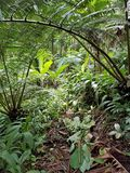 Large Fern Tree Canopy in the Forest. Big Island, Papikou, Hawaii Royalty Free Stock Images