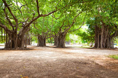 Large ficus Stock Photography