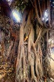 Large ficus. Sacred Banyan tree. In India (animism Royalty Free Stock Photo