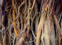 Large ficus. Sacred Banyan tree. In India (animism Stock Image
