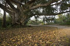 Large Ficus tree spread out their branches trunks give shadow cooling down from the heat of the sun. Large old Ficus tree spread out branches giving shadow and stock photo