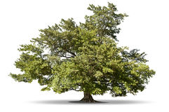 Tree Royalty Free Stock Images