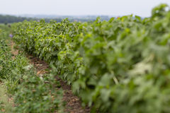 A large field of blackcurrants ready for harvest Stock Photography