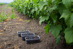 A large field of blackcurrants ready for harvest Royalty Free Stock Image