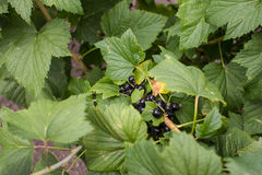 A large field of blackcurrants ready for harvest Royalty Free Stock Photos