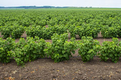 A large field of blackcurrants ready for harvest Stock Images