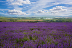 Large field of blooming lavender Stock Photos