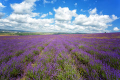 Large field of blooming lavender Stock Images