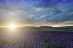 Large field of blooming lavender. A large field of blooming lavender at sunset royalty free stock images