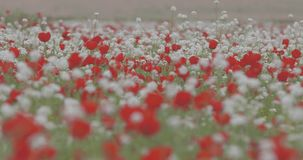 A large field of blooming red poppies. stock footage
