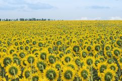 Large field of a blooming sunflower on a summer sunny day, rear. View; Typical Ukrainian farm landscape royalty free stock photo