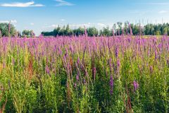 Large field with bright flowering Purple Loosestrife Royalty Free Stock Photography