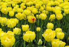 A large field of bright yellow tulips with green stems royalty free stock images