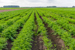 Large field with carrot plants at a vegetable farm Stock Image