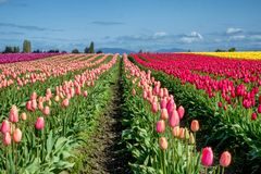 Large field of colorful tulips in Mount Vernon area of Washington royalty free stock photography
