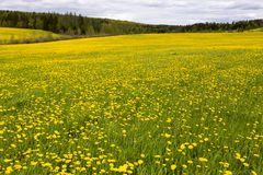 Large field covered in dandelion blooming in the spring set against wooded area. In the Beauce region, Quebec, Canada royalty free stock photography