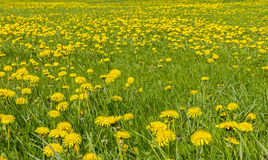 Large field of dandelion flowers Stock Photos