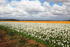 Large field of flowers Royalty Free Stock Photos