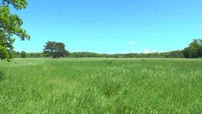 A large field in front of a forest. We see green grass, trees, blue sky with clouds stock video