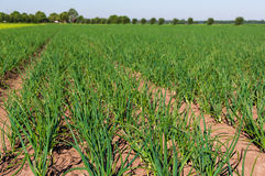 Large field full of onion plants Royalty Free Stock Photo