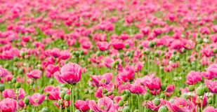 Large field full of pink Papaver flowers Royalty Free Stock Photos