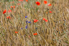 A large field full of rye and poppies Royalty Free Stock Image