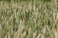 Large field full of wheat Stock Photography