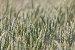 Large field full of wheat Royalty Free Stock Photography