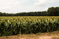 Large Field of Grain Sorghum Royalty Free Stock Photos
