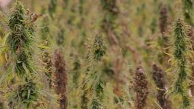 hemp field on an agricultural farm