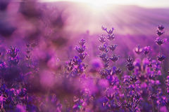 Large field of lavender flowers at sunset. Blurred summer background of lavender flowers stock photos