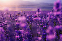 Large field of lavender flowers at sunset. Blurred summer background of wild grass and lavender flowers stock photo