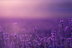 Large field of lavender flowers at sunset Stock Image