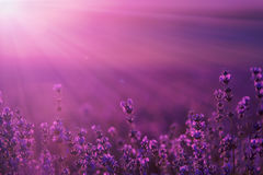 A large field of lavender flowers at sunset Stock Photography