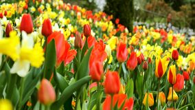A large field with multi-colored tulips. stock video