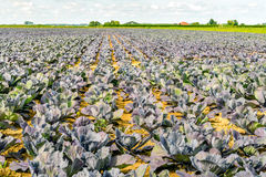 Large field with organically grown red cabbage plants Royalty Free Stock Image