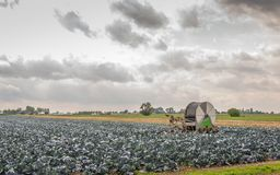 Large field with organically grown red cabbage in the Netherland. Large field with organically grown red cabbage plants. In the middle of the dry field is an royalty free stock photo