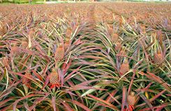 Large Field with Pineapples Stock Photography