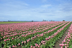 Large field of pink tulips Stock Photo