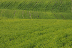 Large field is planted with the rising green crops in agricultur Stock Photos
