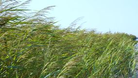 A large field of reed. stock footage